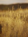 Tall Grass in the Simpson Desert