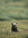 A Grizzly Bear Sits in a Meadow