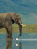 With a Sacred Ibis Beside Him, an African Elephant Drinks from a Pond