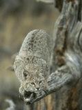 Lynx on Branch