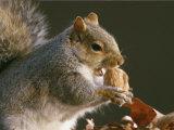 An Eastern Gray Squirrel Eats a Walnut