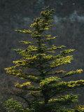 Spruce Tree Along Skyline Drive