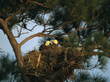 Pair of American Bald Eagles Sitting in Their Nest in a Pine Tree