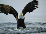 American Bald Eagle Grasps its Prey Below the Water