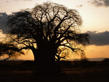 A Twilight View of a Baobab Tree