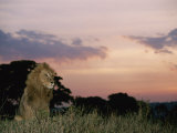 A Male African Lion Looks out over its Territory at Twilight
