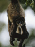 A Spider Monkey Hangs from a Tree Branch