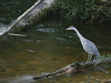 A Great Blue Heron Standing on a Log Watching for Passing Fish
