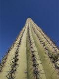Skyward View of a Saguaro Cactus