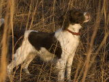 An English Springer Spaniel Points for His Master