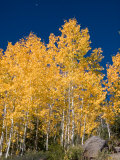 A Forest Changes Color as the Aspen Trees Turn Golden in Autumn