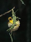 A Pair of Weaverbirds Work Together on Their Nest