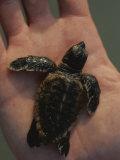 A Newly-Hatched Loggerhead Sea Turtle on the Palm of a Human Hand