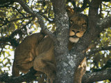 Lioness Resting in the Crotch of a Tree