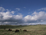 Bison Grazing on the Open Prairie in Custer State Park