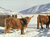 West Highland Cattle