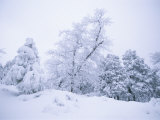 A Winter Landscape of Snow-Covered Trees on Spruce Mountain