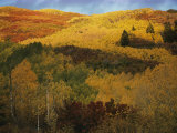 Autumn View of Aspens, Oaks, and Evergreens