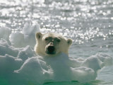 A Polar Bear in the Water Peers up over a Chunk of Ice