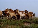 Chincoteague Ponies Run Along the Shoreline