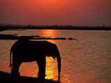 Silhouetted African Elephant Drinking Water