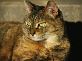 A Portrait of a Pet Tabby Cat