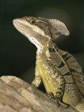 Close View of a Basilisk Lizard