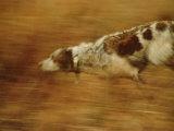 Hunting Dog Running