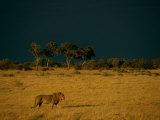 A Male African Lion Walks Across the Sunlit Savanna