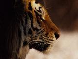A Close Profile View of a Siberian Tiger