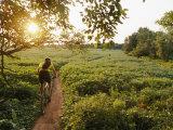 A Cyclist Rides on a Trail Through a Soybean Field