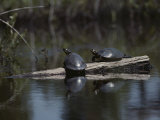 Red Bellied Turtles Sun on a Log
