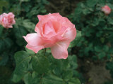 Close-up View of a Pink Rose with Green Leaves in Background