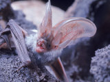 Excellent Close Up of the Spotted Bat