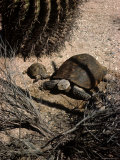 Desert Tortoise and Youngster in the Sonoran Desert