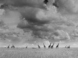 Giraffes Roaming Through the Field