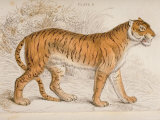 Engraving of a Tiger from The Naturalist's Library Mammalia