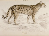 Engraving of a Chati from The Naturalist's Library Mammalia