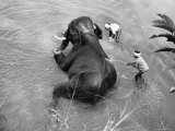 Elephant Belonging to Temple of the Tooth, Getting Mid Day Bath in River