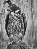 The Captive Falcon with Its Feet Tied Down and a Mask over Its Face So It Cannot Escape