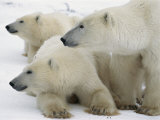 A Portrait of a Polar Bear Mother and Her Cubs