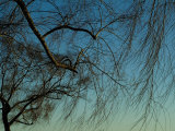 Branches of a Weeping Willow Tree against a Blue Sky