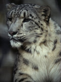 A Captive Snow Leopard (Panthera Uncia) Looks Intensely at a Subject
