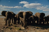 Herd of African Elephants Moving Across the Plain