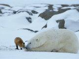 A Red Fox, Vulpes Vulpes, Noses a Polar Bear, Ursus Maritimus