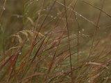 Dew Glistens on Grasses in the Mackenzie River Delta