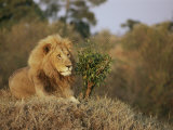 A Male African Lion Proudly Looks over its Domain