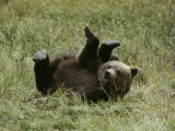 A Young Grizzly Rolls over into an Awkward-Looking Position