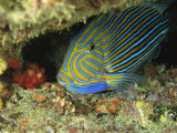 A Parrotfish Sleeps in a Crevice in a Reef