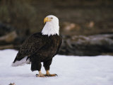 An American Bald Eagle Stands on Snowy Ground